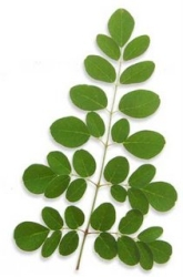 Moringa oleifera leaf - Moringa facts