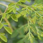 Moringa – FAO Crop of the Month
