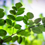 Nutritional Characterization of Moringa Oleifera Leaves