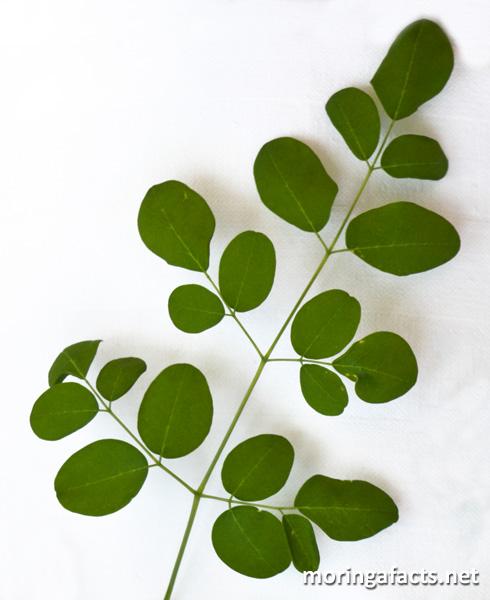 Moringa leaf - Moringa facts