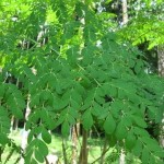 How To Propagate Moringa