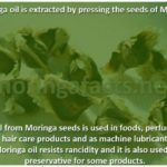 Moringa Oil Is Extracted From The Seeds