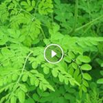 Moringa Superfood Documentary