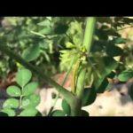 Transplanting Moringa
